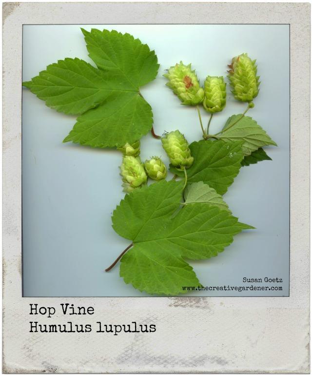 hopsvine polaroid