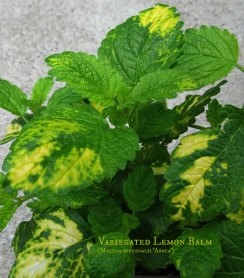 Lemon balm labeld web IMG_4456ed