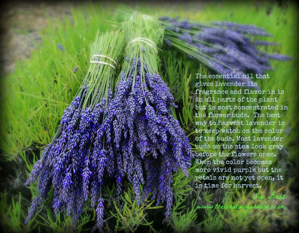 lavender bud harvest
