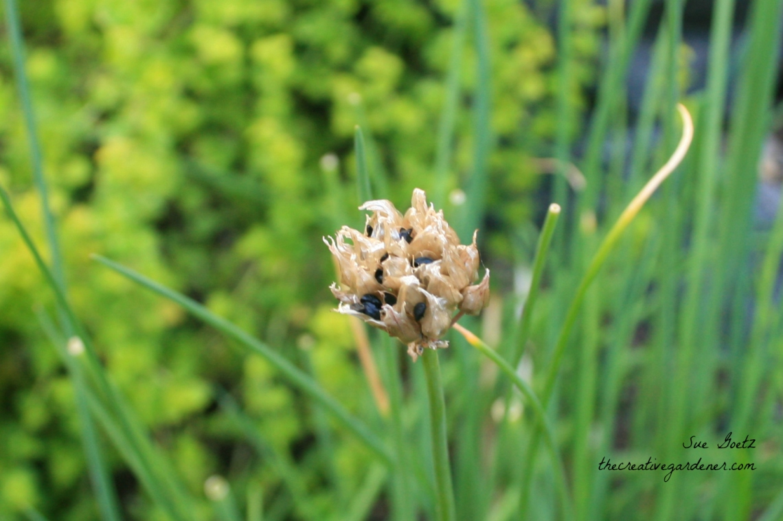 chive-seedclose-up