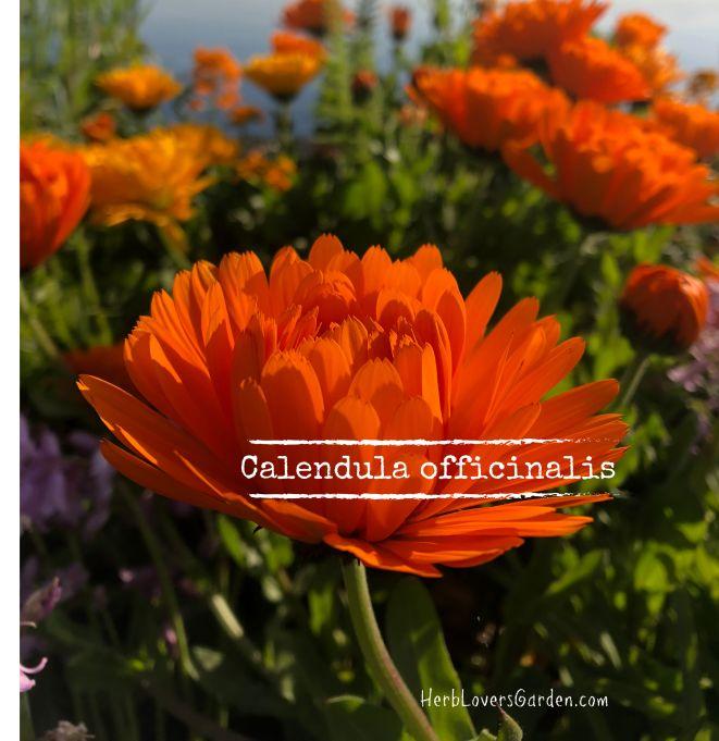 calendula flowers web size