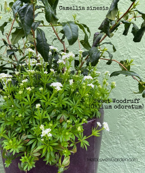 camellia and woodruff pot herbs
