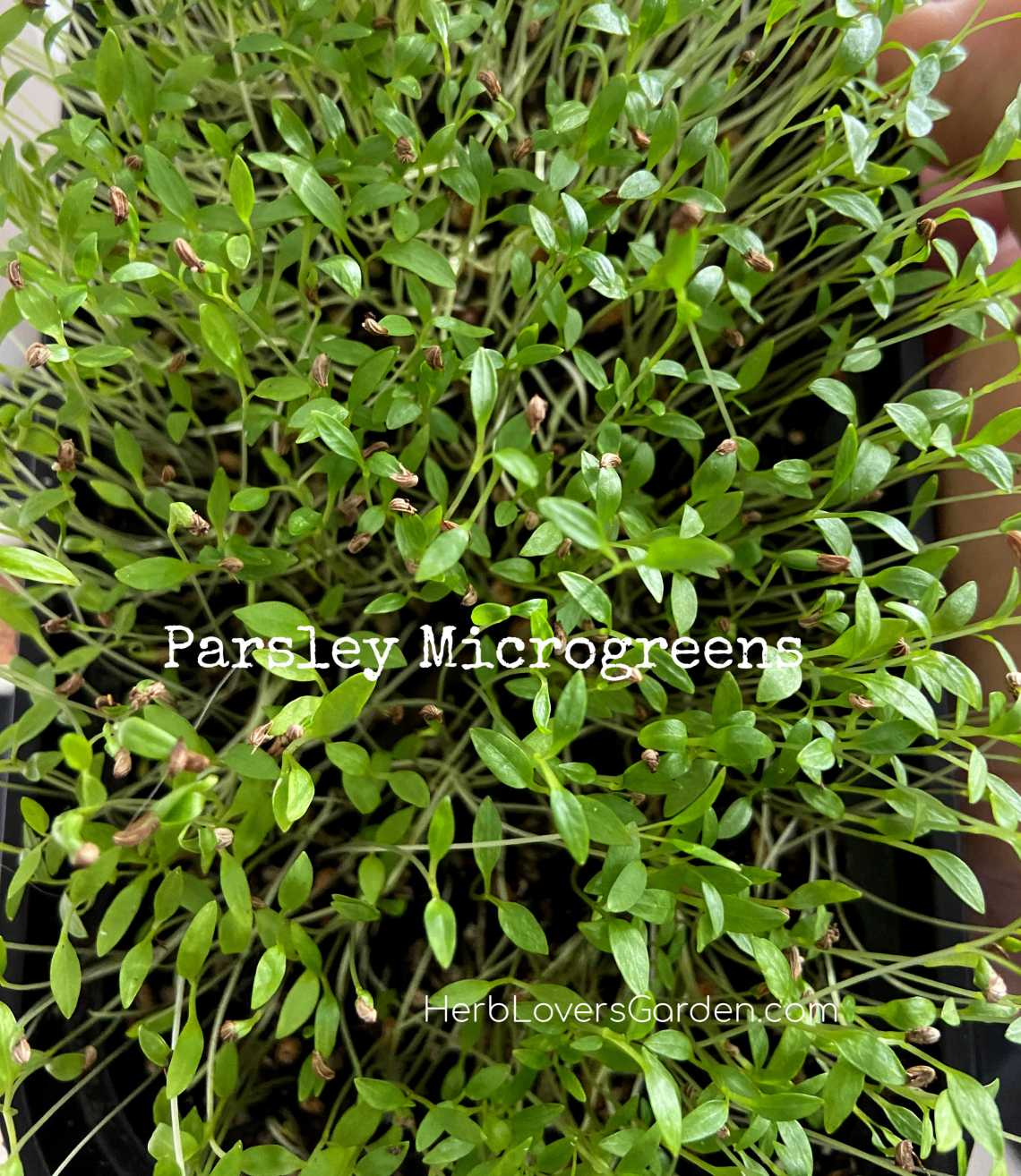 Parlsey microgreens low res